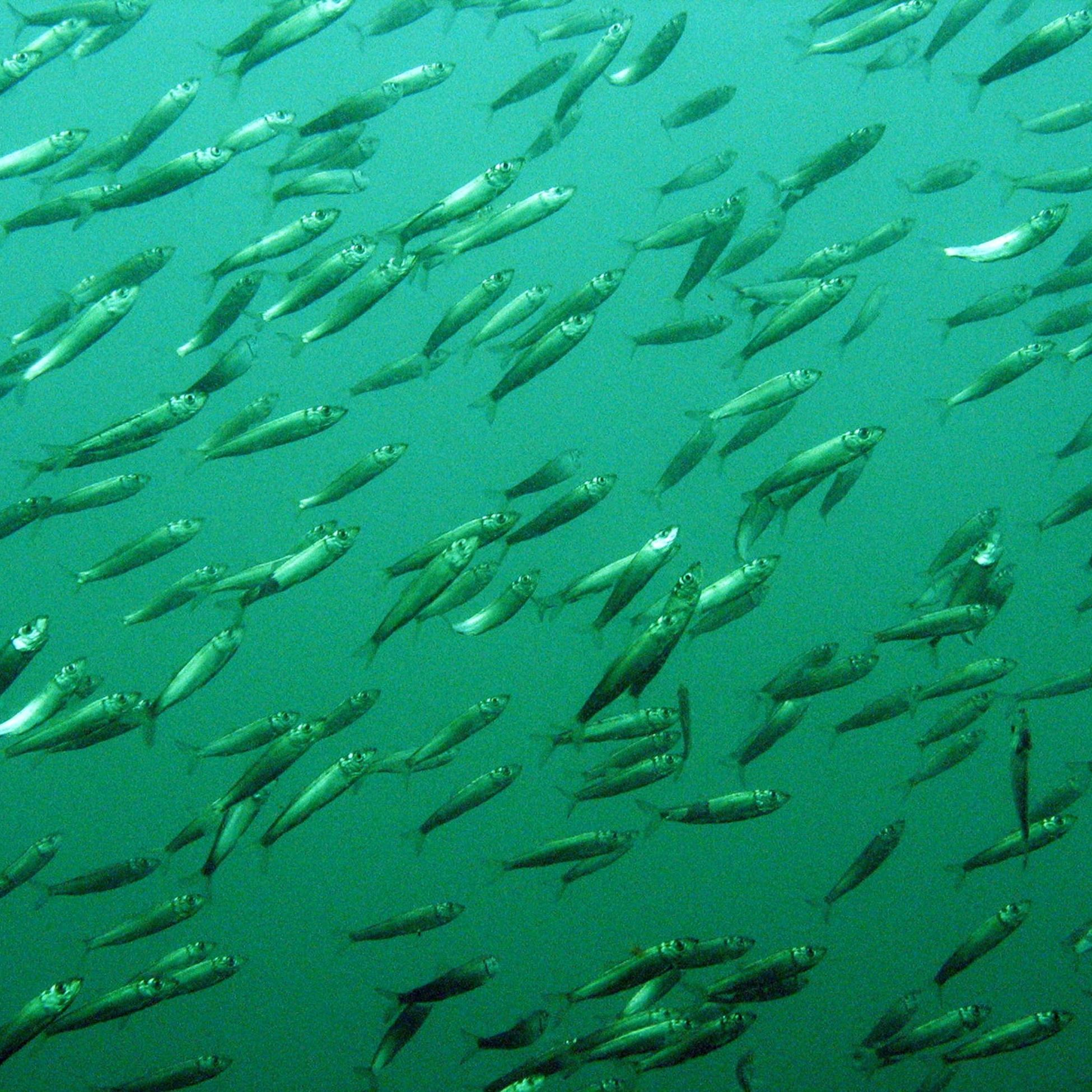 Forage fish